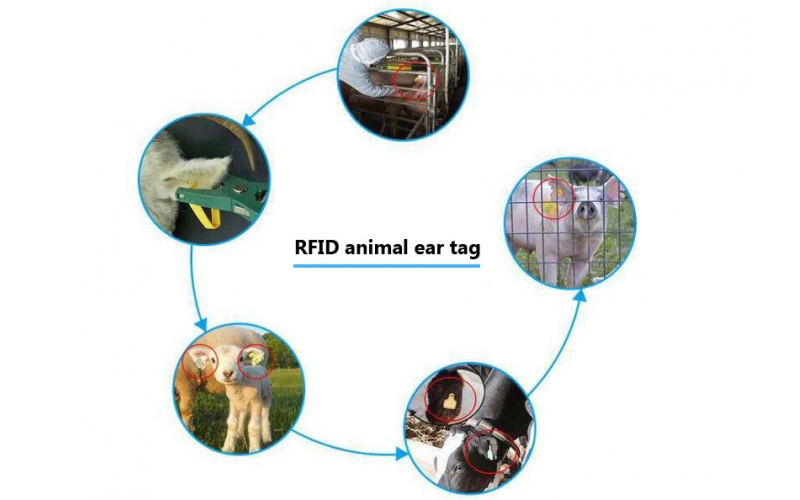 RFID technology animal husbandry management provides a scientific management model